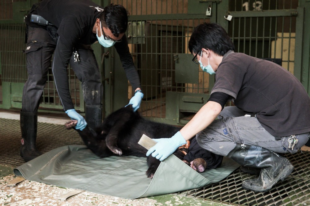 Speed is the key and in no time, the vets are done with the annual check-up. It takes two people to gingerly place the sun bears on a ground sheet and carry them back to their cages to rest until they awake.