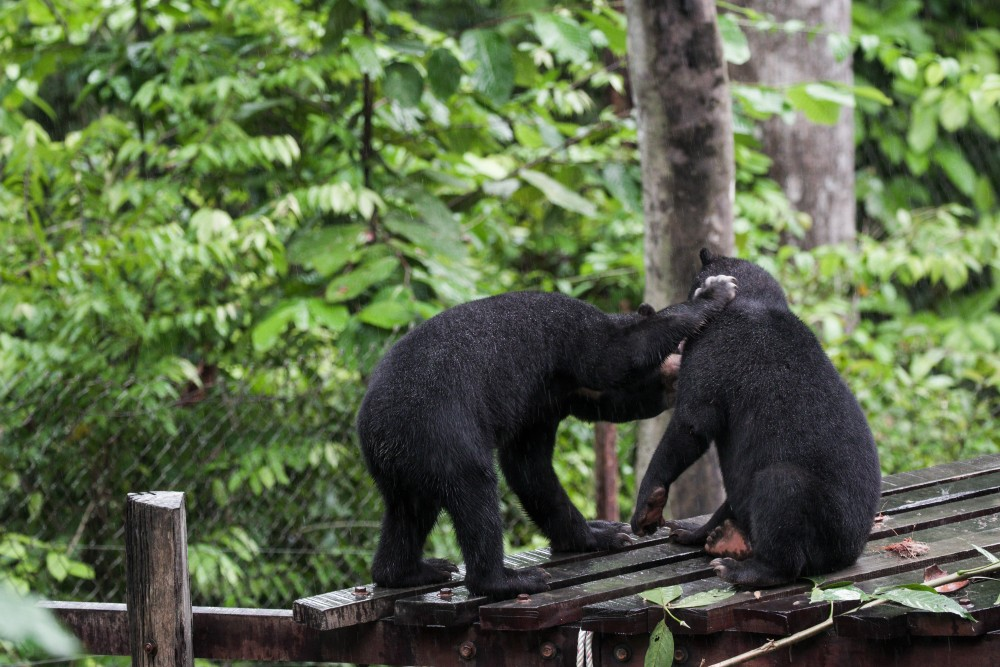 The moment they are up, sun bears are back to being their playful selves. While they are usually solitary animals, they sometimes enjoy a little tussle with other sun bears.