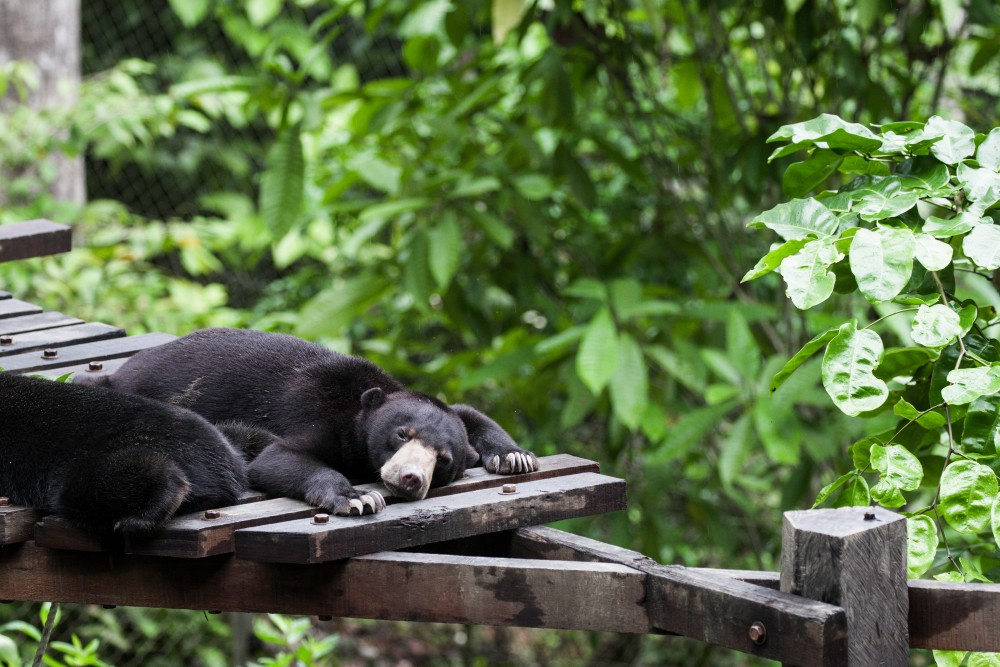 Sun bears are mostly active during the day, though they enjoy an afternoon nap, or three.