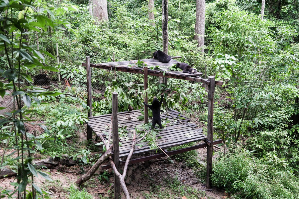 Sun bears enjoy staying at heights of between two to seven metres. At BSBCC's sanctuary, there is a playground for its residents to hang out with fellow sun bears. Excellent climbers, they will usually scramble up this structure's wooden columns and sunbathe on the flat roof.