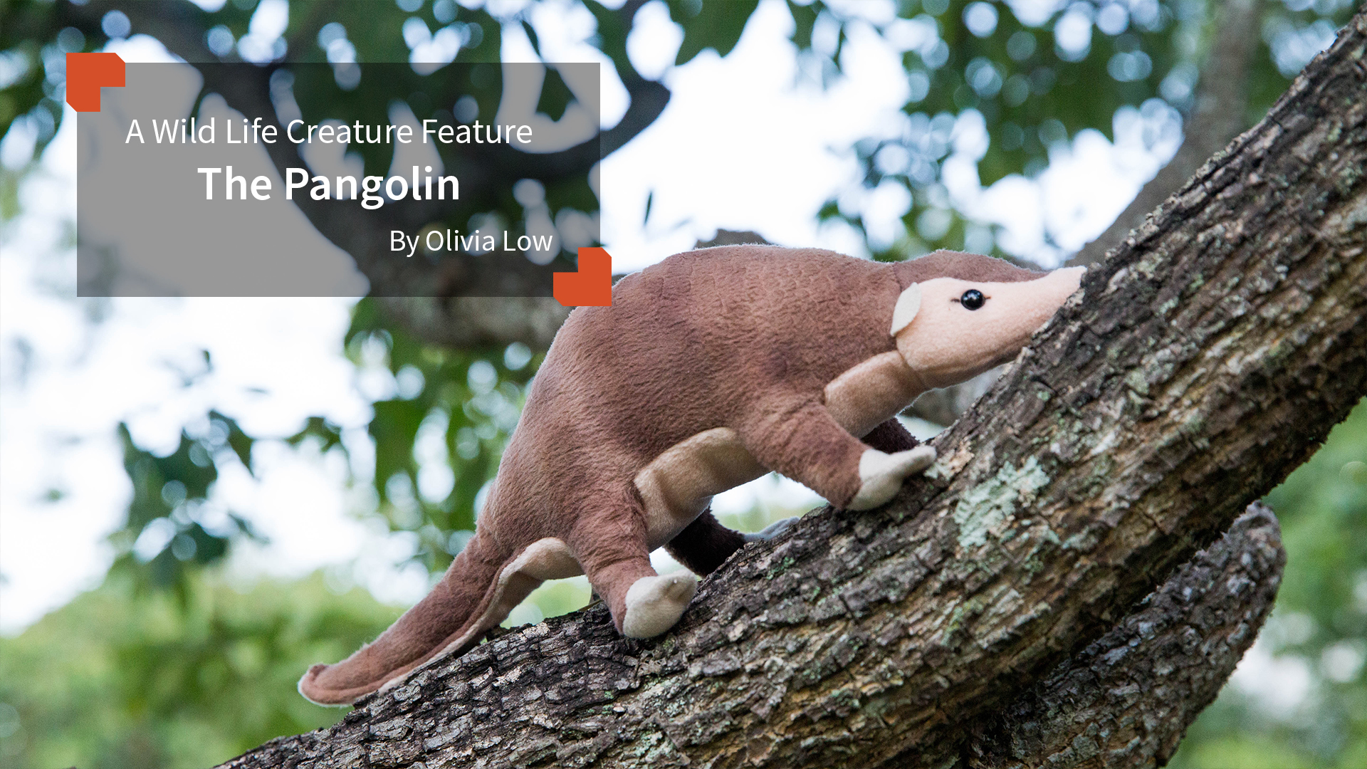 A Wild Life Creature Feature  The Pangolin By Olivia Low