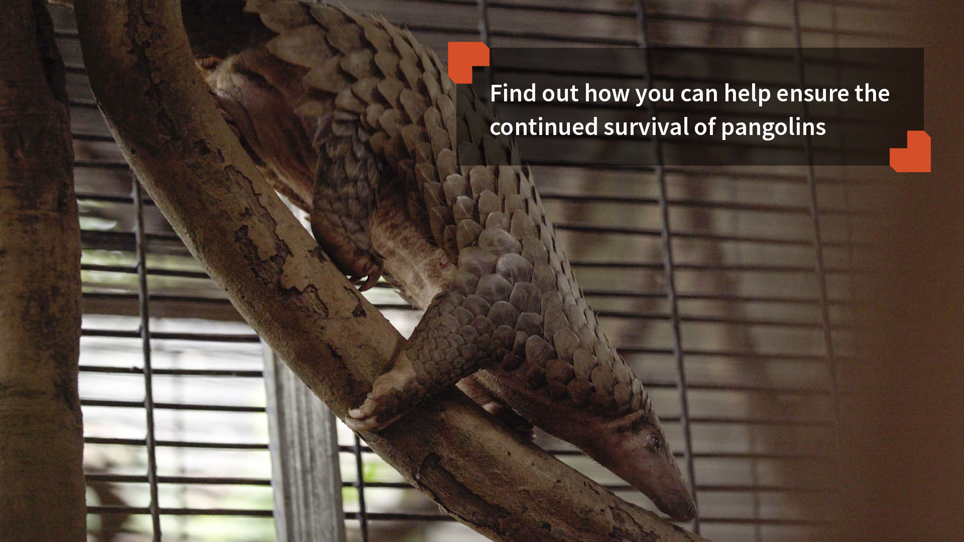 Find out how you can help ensure the continued survival of pangolins