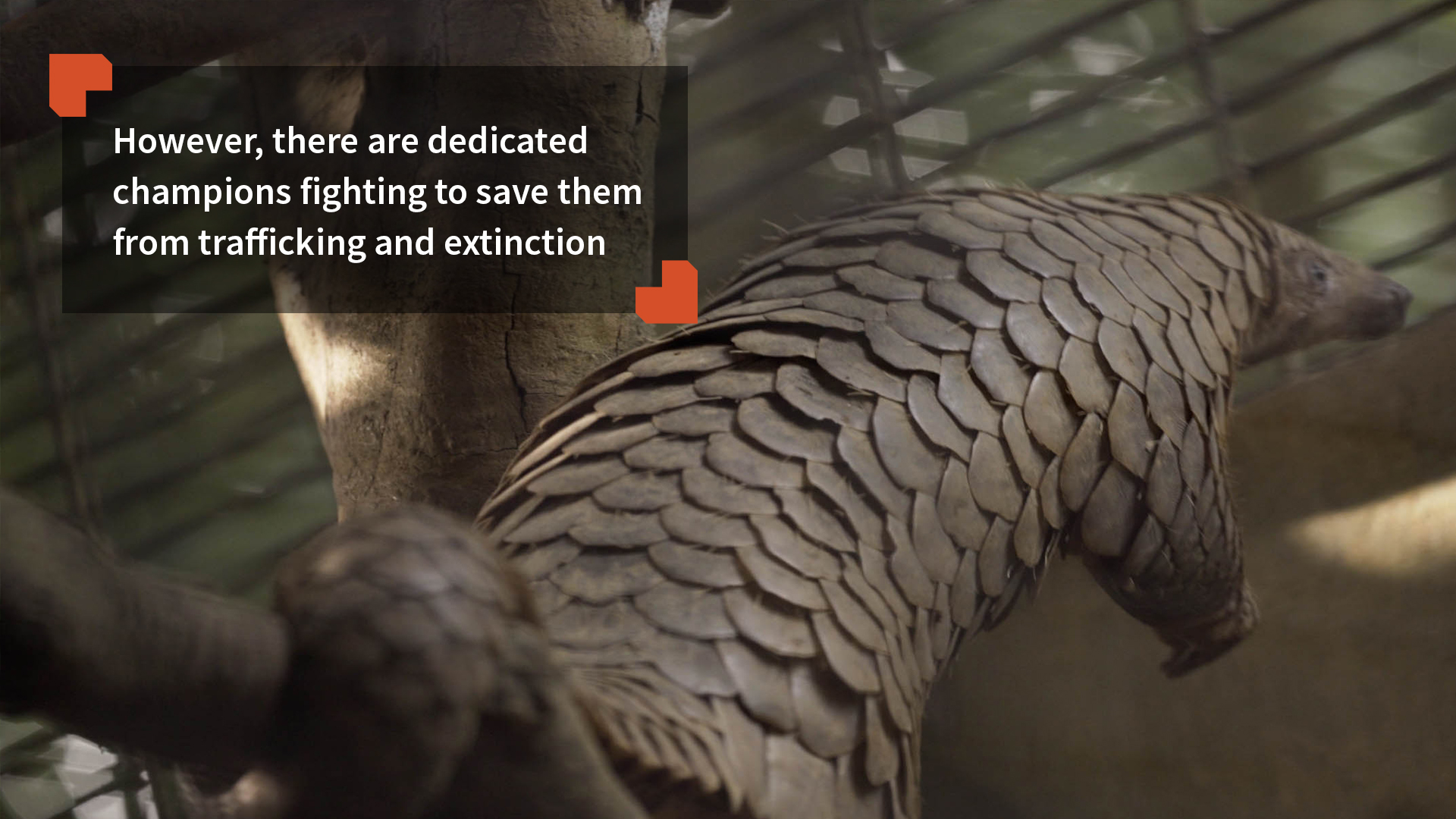 However, there are dedicated champions fighting to save them from trafficking and extinction