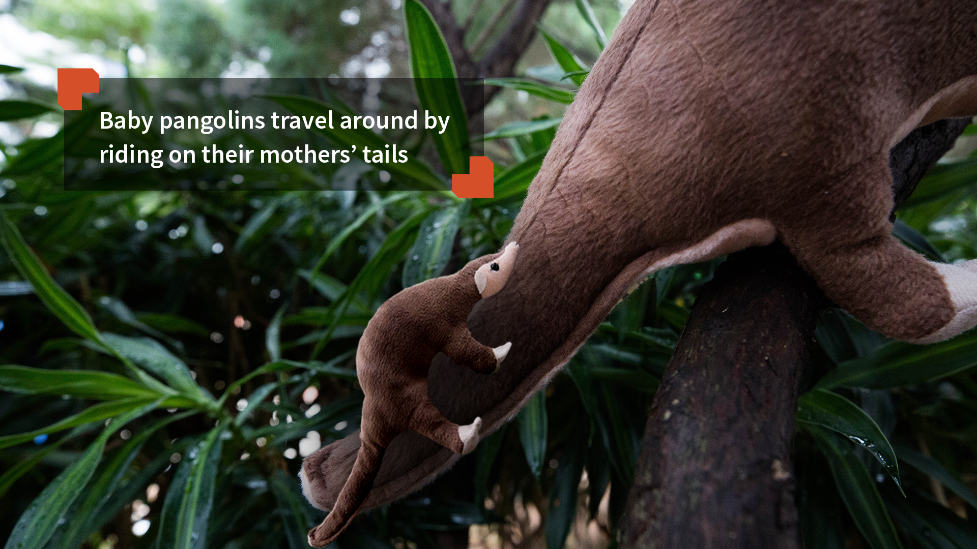 Baby pangolins travel around by riding on their mothers' tails