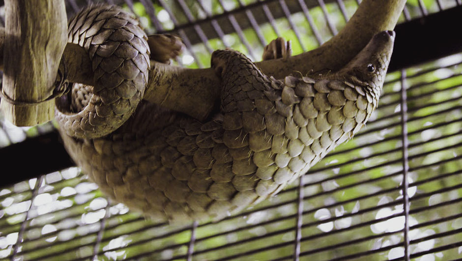 Pangolin on branch in enclosure