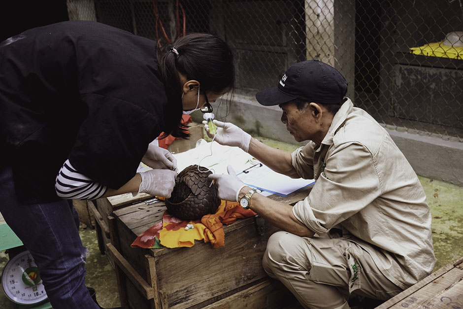 Tham helping a vet give fluids to rescued pangolin