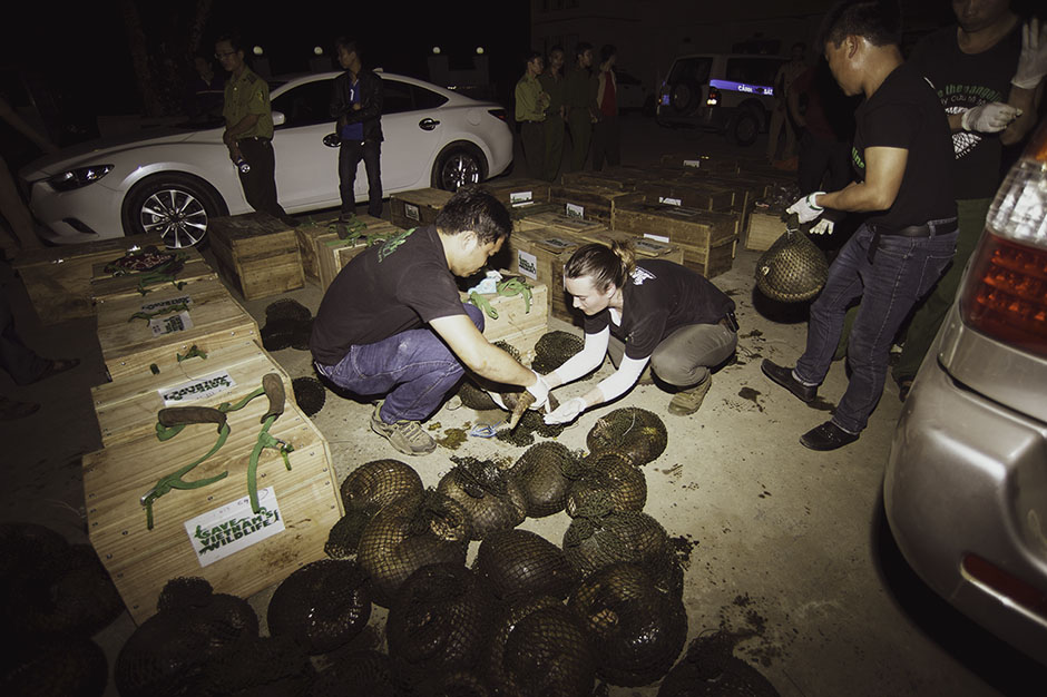 Trafficked pangolins being rescued