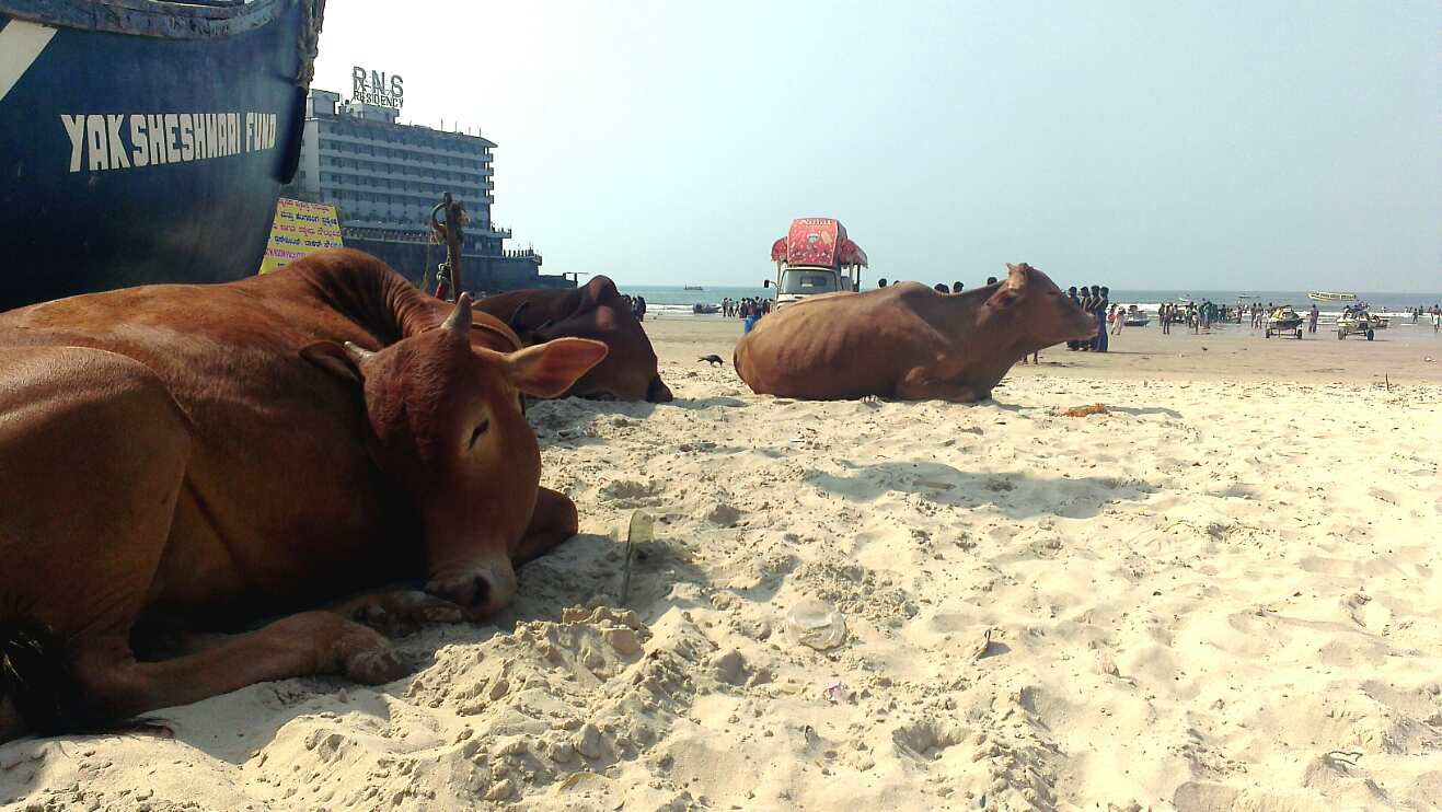 Day 11 cows sleeping on the beach
