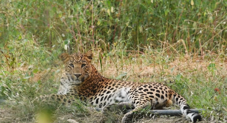 Spotted in India: Humans and leopards living in harmony