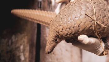 Scaling up protection of pangolins