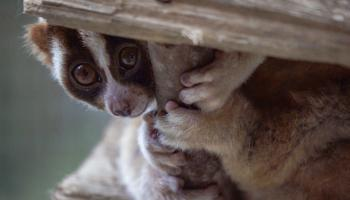 Fast aid for slow lorises